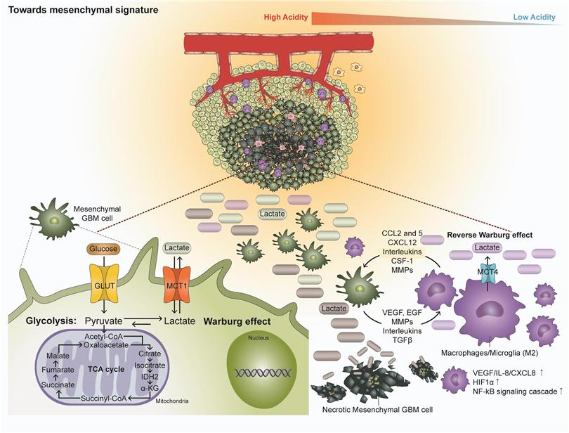 <교모세포종이 종양 내부의 유전-단백질, 대사 산물의 변화 및 종양 주변 환경의 변화에 따라서 메젠카이멀 (mesenchymal) 유형으로 형질 변환되면서 종양 주변으로 모여드는 면역 세포들의 면역 기능을 마비시키고 교모세포종 더욱 악성화 되어가는 기전을 설명하는 모식도 >
